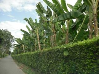 The Banana Trees